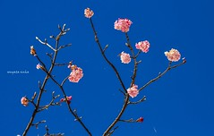 Spring (Sougata2013) Tags: blue sky india mountain flower nature colors march spring hill mandi hilltop himachalpradesh nikond3200 prashar tungamatatemple