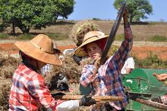 0216 Pindaya - Le temps des moissons (Docaron) Tags: wheat harvest crop myanmar farmer agriculture moisson bl paysan birmanie rcolte dominiquecaron