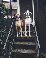 79/365 {Explored 3/24/2015} (moke076) Tags: vegas dog pet dogs oneaday animal mobile stairs pose pups flickr serious great large cellphone cell moose explore fawn smiley photoaday huge dane 365 cabbagetown harlequin iphone 2015 project365 explored 365project vsco vscocam