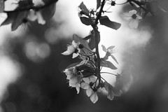 Look and See (chris.ph) Tags: light blackandwhite flower monochrome spring bokeh britishcolumbia vancouverisland parksville plumblossoms canon60d