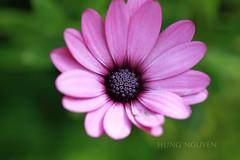 After (Hng Nguyn Photo - Tel: 0937 067 804) Tags: flower macro beautiful niceflower hungnguyen hungnguyenphtoto