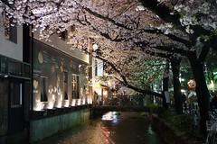 京都の夜桜 (nobuflickr) Tags: japan cherry kyoto 桜 sakura 中京区 takasegawa kiyamachi 高瀬川 京都市 20150403dsc08308