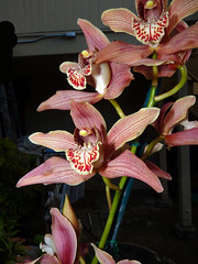 Cymbidium Memoria Leland Williams hybrid orchid (nolehace) Tags: sanfrancisco winter orchid flower leland williams bloom hybrid memoria cymbidium 215 nolehace fz35