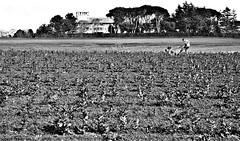Lavoro Duro (pinomangione) Tags: roma work landscape terra lavoro coltivare pinomangione