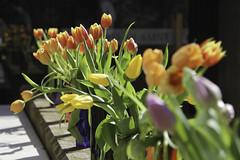 Easter Tulips (Lawrence OP) Tags: easter edinburgh catholic tulips chaplaincy stalberts