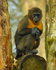 Golden-bellied mangabey (Foto Martien) Tags: holland netherlands dutch zoo monkey arnhem nederland burgers ape gps geotag slt aap veluwe burgerszoo drc a77 dierentuin gelderland rdc dierenpark tropicalrainforest drcongo droc centralafrica républiquedémocratiqueducongo democraticrepublicofthecongo congokinshasa zaïre burgersdierenpark goldenbelliedmangabey cercocebuschrysogaster goldbauchmangabe centraalafrika democratischerepubliekcongo cercocèbeàventredoré martienuiterweerd fotomartien goudbuikmangabey slta77v a77v sonyalpha77 geotaggedwithgps tamron70300mmf456sp koninklijkeburgerszoo cercocebodalventredorato mangabeydevientredorado tropischeregenwoud mangabeyàventredoré