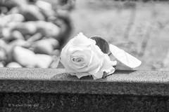 Kamp Westerbork (norbert93) Tags: museum zwartwit sony roos rails drente trein herdenking kampwesterbork jodenvervolging sonyalpha700 2dewereldoorlog