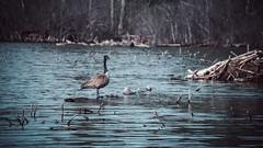 Beav (sheenphotos.com) Tags: trees lake river lost spring cool woods mud ottawa scene drain sewage loon cimera