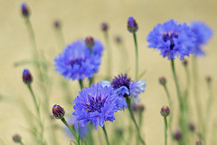 Cornflower (Geoffrey Tibbenham) Tags: blue garden fuji native f14 depthoffield cornflower 35mm14