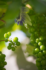 Grapes with Passion! (hans_polet) Tags: wow brilliant 105mm nikkor105mmf28gvrmicro