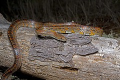 Corn Snake (cre8foru2009) Tags: cornsnake pantherophisguttata snake herping reptile night nature georgia wildlife