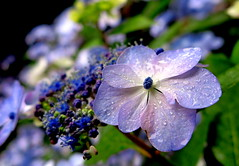 Wet and Fresh (Anna's 50) Tags: flower macro blue canong1x sofiero