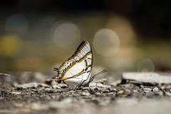 - Polyura eudamippus formosana - Nabi Falls - Puli Township, Nantou County (prince470701) Tags:  nabifalls  butterfly               sonya99 sigma70300mm  pulitownship  nantoucounty taiwan explore