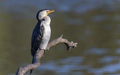 creatures of the mangroves - little pied cormorant (Fat Burns  (on/off)) Tags: littlepiedcormorant melanoleucosphalacrocorax bird australianbird fauna australianfauna waterbird nikond750 sigma15006000mmf5063sports nudgeebeachmangrovewalk