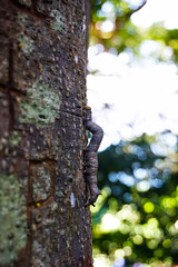 Worming his way up the 800+ year old Banyan Tree (Undiscovered Gilfillan) Tags: banyantree figtree nature forest