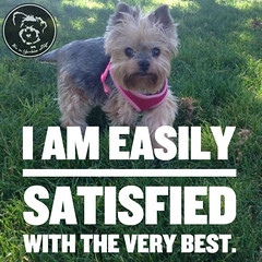 Yorkies, for when only the very best will do. (itsayorkielife) Tags: yorkiememe yorkie yorkshireterrier quote