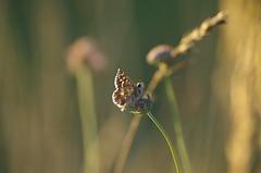 Goyrans (31) (FloLfp) Tags: coucher de soleil 31 toulouse goyrans garonne pentax k50 francia france insecte fleur flowers sun été faune flore papillon lépidoptères lepidoptera haute butterfly 法國 douceur