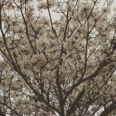 Ip-branco ou ip-mandioca achado. (Elias Rovielo) Tags: sp pinheiros winter inverno floresbrancas white whiteflowers branco cidade natureza nature tree braziliantrees rvoresdobrasil ipmandioca ipbranco ip instagramapp square squareformat iphoneography reyes