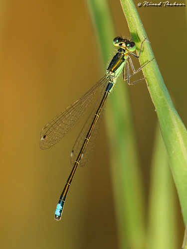 "Black-fronted Forktail (Male) • <a style=""font-size:0.8em;"" href=""http://www.flickr.com/photos/59465790@N04/28131455583/"" target=""_blank"">View on Flickr</a>"