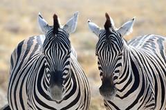 Etosha National Park (silviasalvi) Tags: africa nature animals namibia savana zebre