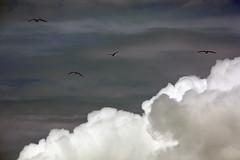 Power. (marfis75) Tags: sky bird beach up weather strand fly flyer power wind cloudy himmel wolken blowing cc vgel mwe schatten oben mwen wetter kste fliegen wolkig windig wechselhaft impulsiv marfis75