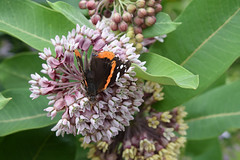 Red Admiral on Common Milkweed (pchgorman) Tags: redadmiral vanessaatalanta taxonomy:binomial=vanessaatalanta vanessa commonmilkweed asclepiassyriaca taxonomy:binomial=asclepiassyriaca asclepias nymphalidae nymphalinae apocynaceae asclepiadaceae flowers insects butterflies folklorevillagefarm iowacounty wisconsin prairies july