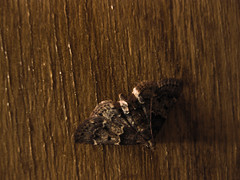 FriendlyNeighborhoodMothS (matthewfritzell) Tags: life wood brown macro beauty bug insect fly flying wings infinity small wing moth tiny universe infinite intricate