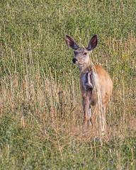 DEER, Mule (teddcenter) Tags: deer mammal molt montana muledeer stillwatercounty