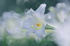 Splash of White (lfeng1014) Tags: macro closeup whiteflower dof bokeh depthoffield whitelily macrophotography lifeng  splashofwhite canon5dmarkiii 70200mmf28lisii