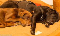 Cuddling Labraduo (KB RRR) Tags: r chocolatelabrador shyla blacklabrador