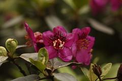 Rhododendron lepidotum Wall. ex G. Don (1) (siddarth.machado) Tags: rhododendron northsikkim himalayanflora 3000msl