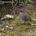 Black-billed Nightingale-Thrush, Catharus gracilirostris
