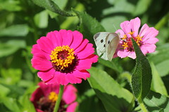 Rovfjril 'Pieris rapae' (P upptcktsfrd i naturen) Tags: blberga juli 2016 fjril fjrilar ktadagfjrilar papilionoidea vitfjrilar pieridae ktavitfjrilar pierinae pieris pierini