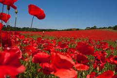 Poppy field (RyanMorris_Photography) Tags: elements poppy poppyfield flower flowers