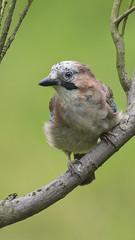 Eurasian Jay (Margaret S.S) Tags: eurasian jay corvid