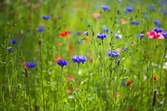 Cornflowers and Poppies (paulapics2) Tags: wildflowers poppies cornflowers roadside fleurs floral flora meadow colourful blumen bokeh canoneos5diii canonef2470mm blues nature cheerful