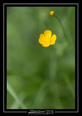 Yellow Flower (mg photographe) Tags: yellow flower jaune fleur macro pontarlier canon sigma