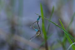 AMP_7579_1 (Amparo Hervella) Tags: embalsederosarito liblula dragonfly d7000 nikon nikond7000 wewanttobefree comunidadespaola