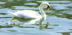 (goldstareagle) Tags: black orange white water river kingston muteswan swan