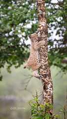 Klatremus (nemi1968) Tags: 8weeksold august canon eurasianlynx gaupe langedrag lynx markiii norway animal birch bokeh cat catfamily climbing cub curiosity curious explore kitten klatremus lynxcub lynxkitten summer tree trees specanimal