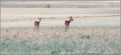 chevreuils (Photos-oleron) Tags: e3 olympus vivitar 70300 chevreuils nature vivitar70300