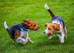 Beagle play (frankshepherd2) Tags: pets hounddog hounds dogs beagle dance