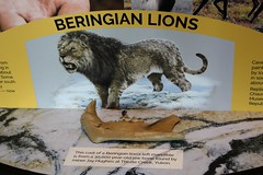 Beringian Lions (demeeschter) Tags: canada yukon territory whitehorse beringia interpretive centre museum heritage archaeology palaeonthology history attraction science