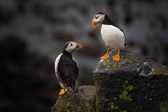 Friends forever (Pete Rowbottom, Wigan, UK) Tags: puffin puffins isleofmay wildlife friends sea seabirds rocks scotland scotlandscoast remote islandsofscotland uk ukislands colourful peterowbottom nikond750 portrait interaction 2puffins depthoffield birds attractive nature naturereserve sanctuary nationalnaturereserve scottishnaturalheritage anstruther fife texture detail feathers plumage thesea