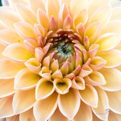 dahlia rose (piri198) Tags: dahlia dahlie canon eos eosm eosm3 efm 22mm lightroom6 blume flower sommer summer macro makro nahaufnahme 1x1 quadrat rosa rose