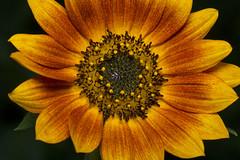 Sunflower (benevolentkira7) Tags: flower sun sunflower big yellow orange seed seeds plant stalk huge giant petals petalflowering