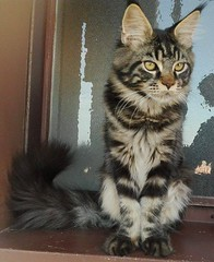 Maine coon kitten on the window (romeosilverpersian) Tags: mainecoon mainecooncat mainecoonkitten cats cat catphotos catbreeds pet pets animalidomestici animale gatto gatti browntabby purebredcats window
