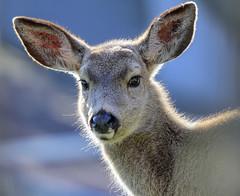 backyard deer @ 550mm (acase1968) Tags: oregon lens nikon wildlife d750 tamron ashland vc 150600mm