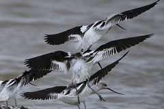 American Avocet (gregpage1465) Tags: bird nature photography photo texas greg wildlife bolivar picture american page americanavocet shorebird avocet recurvirostraamericana gregpage