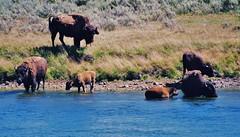 Along the Yellowstone River (stevelamb007) Tags: usa river us buffalo drinking yellowstonenationalpark oldphoto yellowstone wyoming bison stevelamb